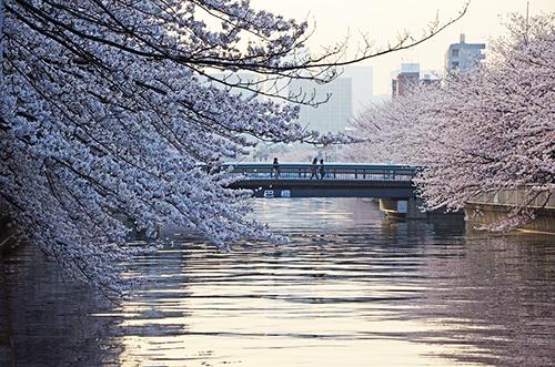 花見 大横川3